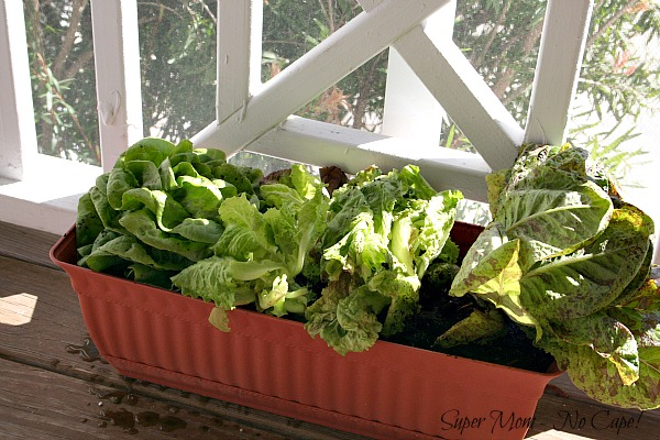 Lettuce growing in a container.