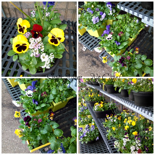 Pansies for Sale