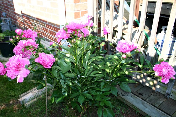 Peonies after being staked.