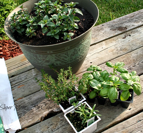 Rosemary, Thyme, Basil and Peppermint plants in pots